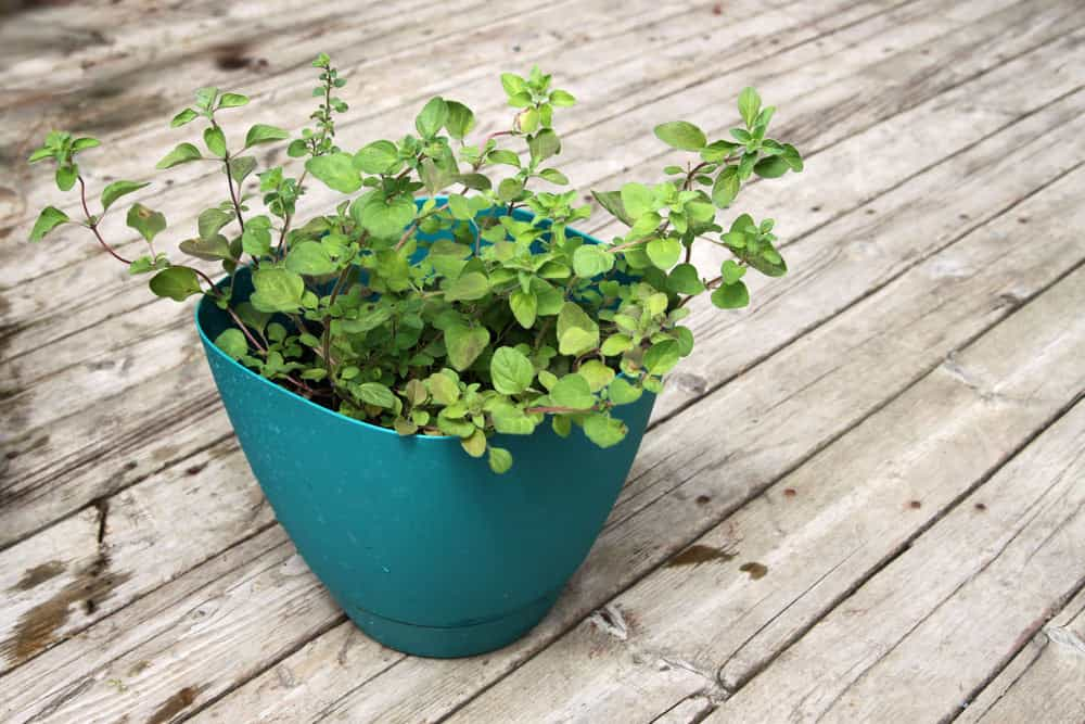 Greek oregano growing in a pot