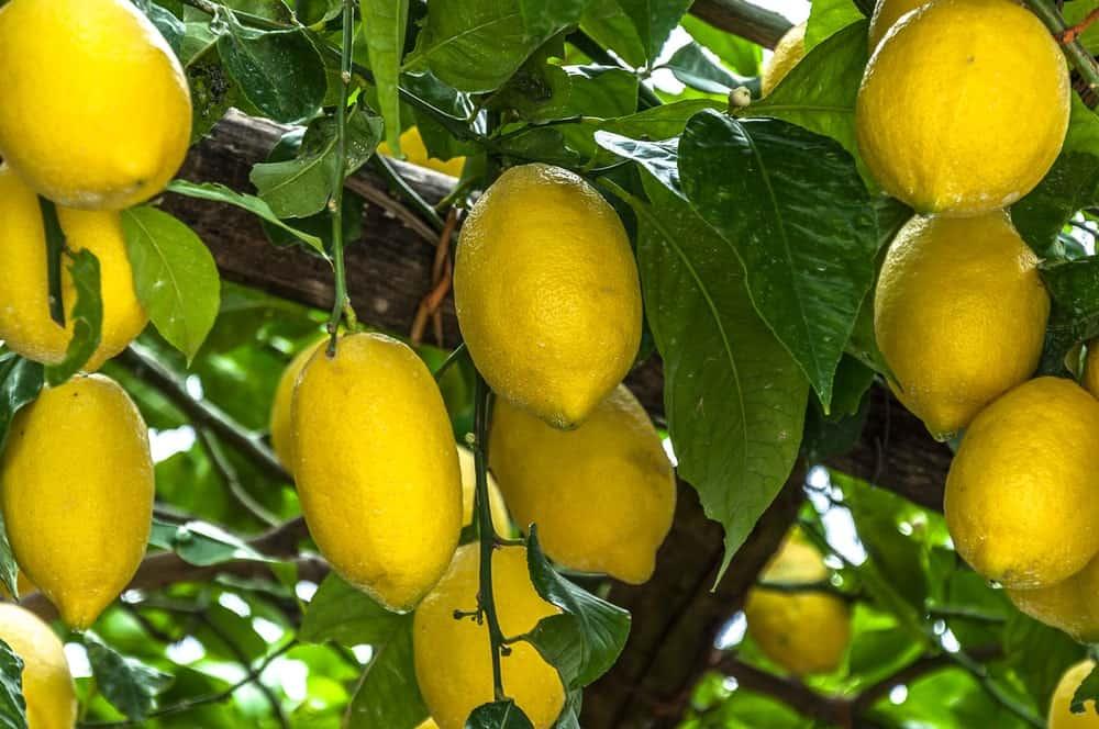 Femminello St. Teresa Lemons