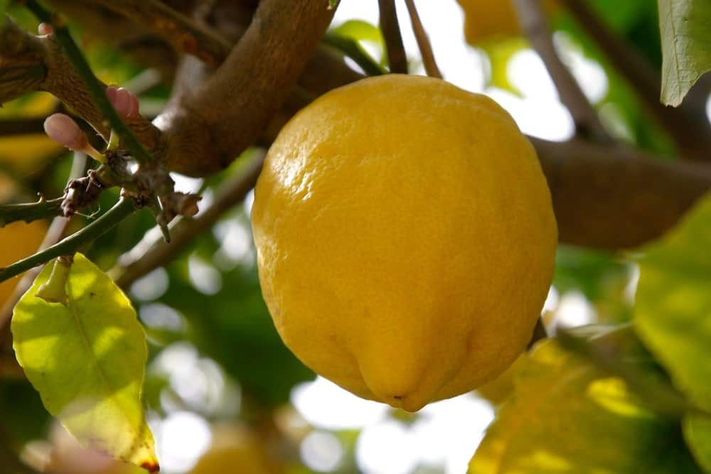 Greek Citron Lemon