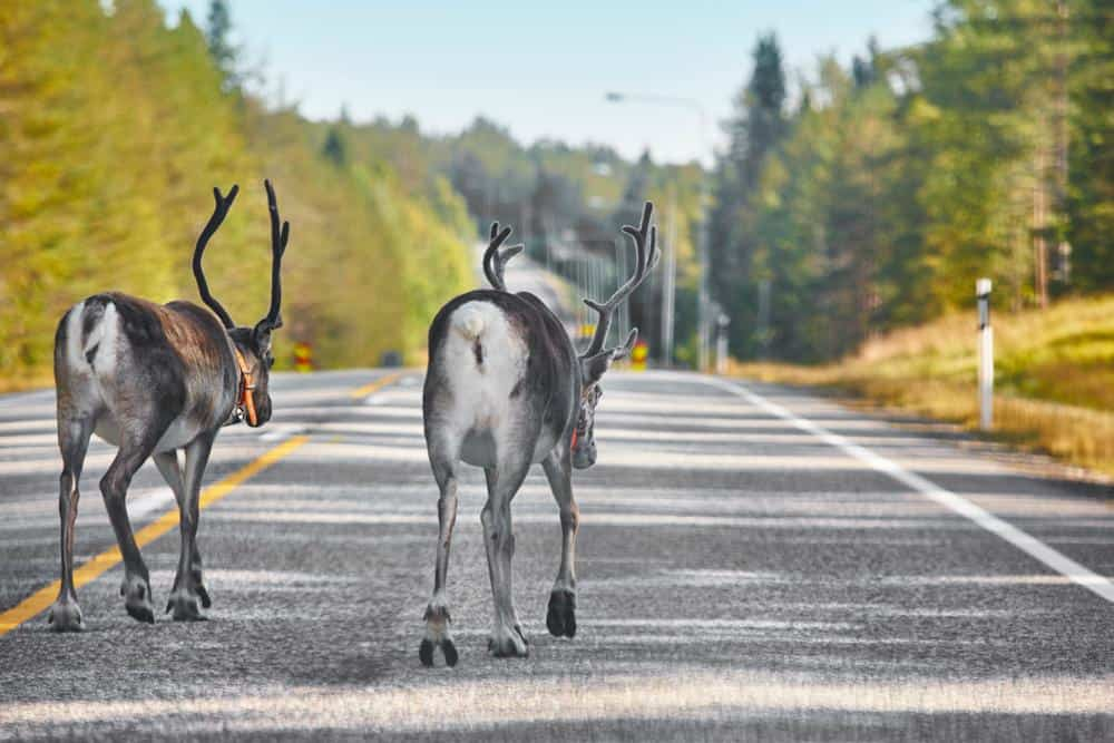 Reindeers in danger of roadkill