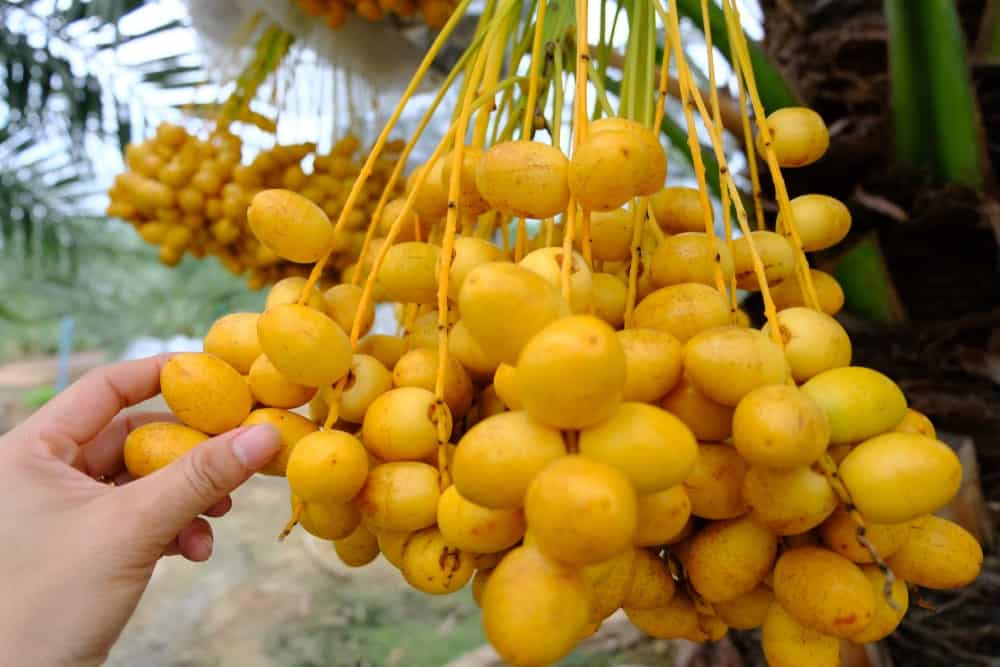 A bunch of Soft Barhi Dates being harvested.