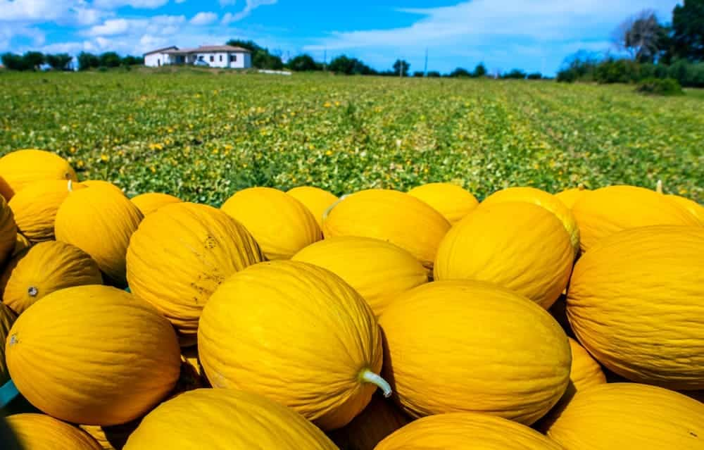 A bunch of newly harvested canary melons in the field.