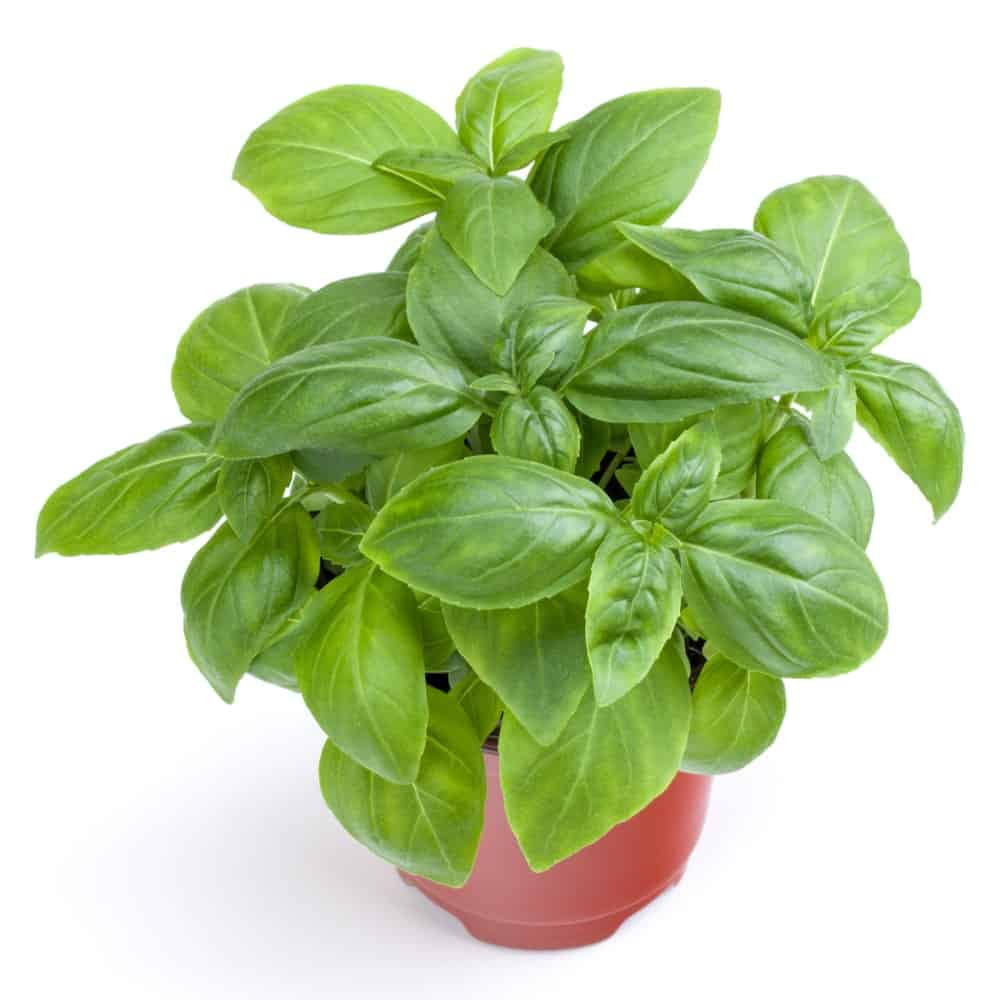 A healthy Genovese Basil Plant on a small red pot.