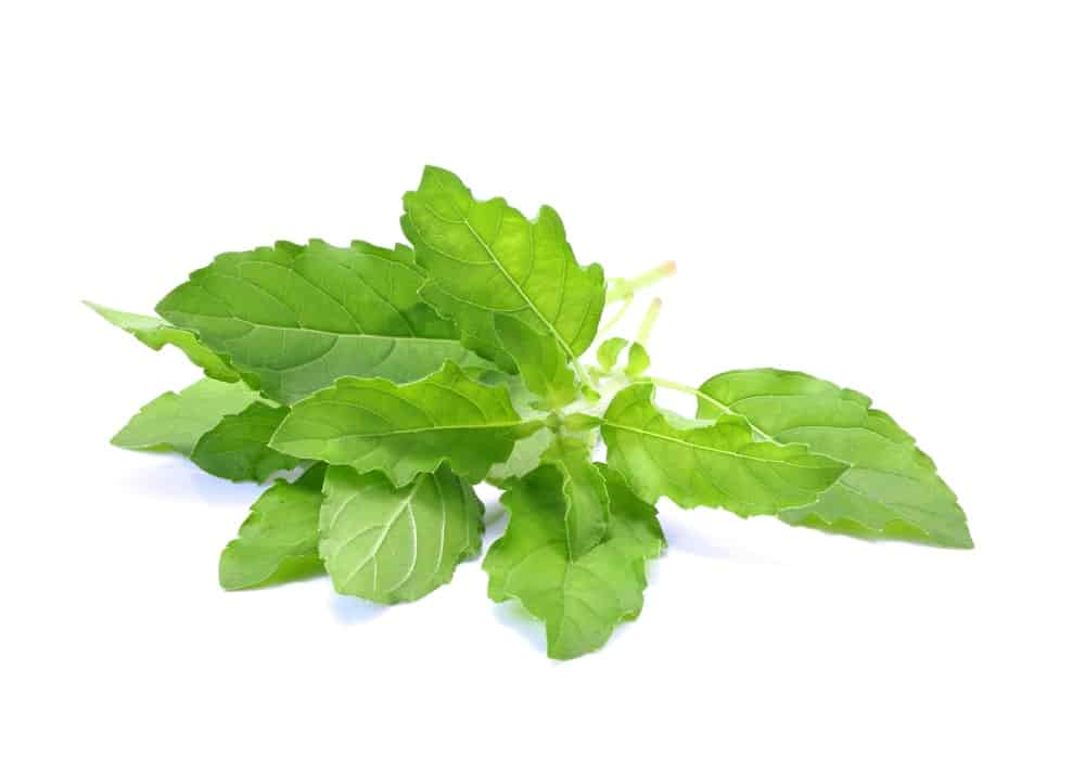 Close up of the holy basil leaves on a white background.