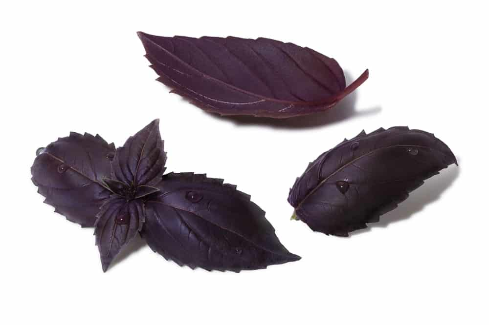 A set of Purple Ruffle Basil Plant leaves.
