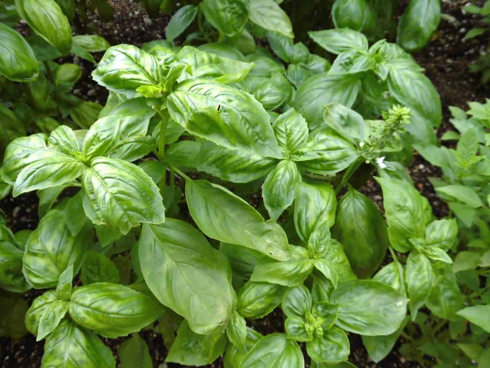 A thriving plant of Sweet basil.