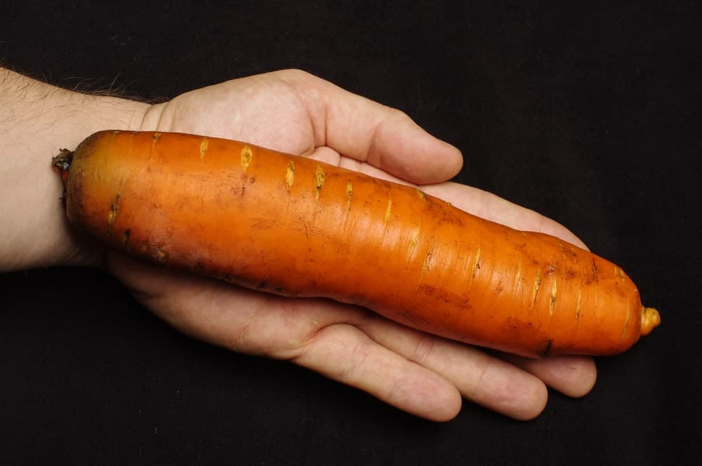 A single large Autumn King Carrot on a palm for size comparison.