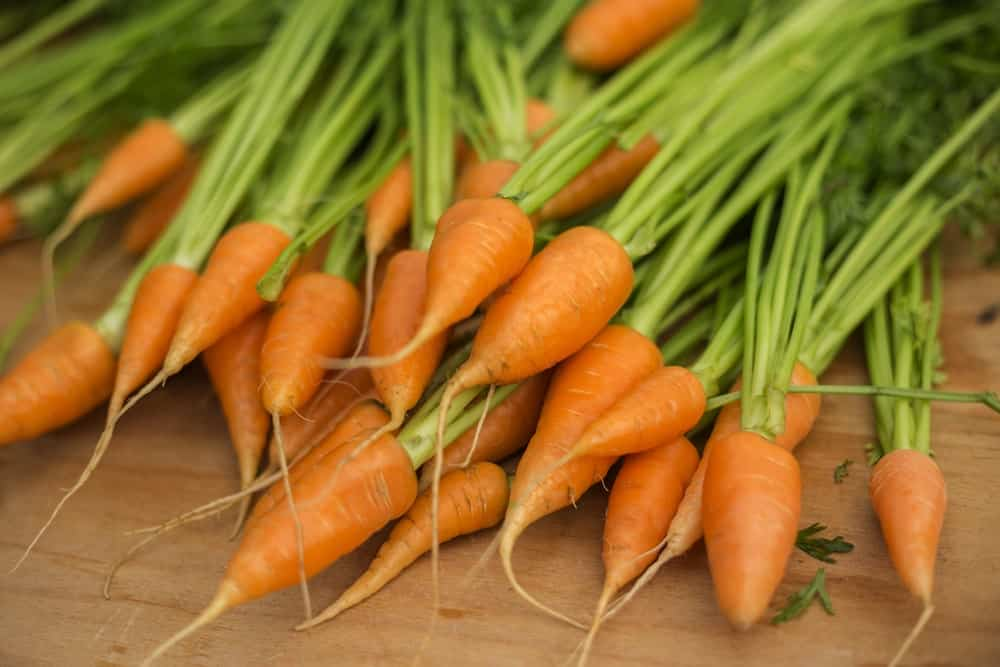 A bunch of small Chantenay Carrots freshly harvested.