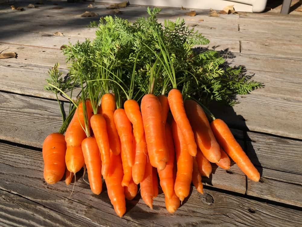A bunch of healthy and fresh Danvers carrots on a wooden surface.