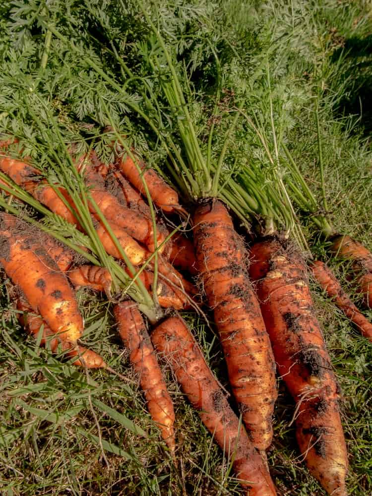 A bunch of freshly harvested Hercules Large carrots with dirt on it still.