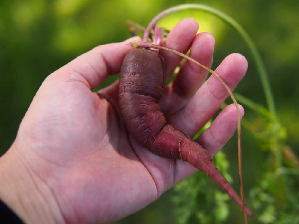 A single freshly harvested Purple Dragon Carrot.