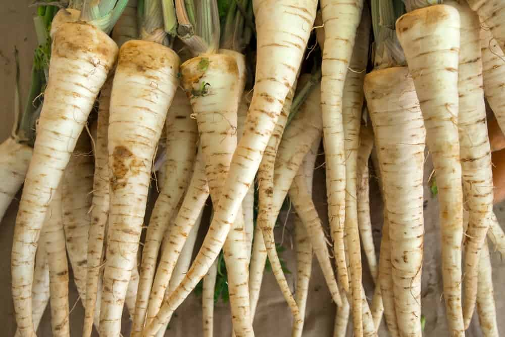 A bunch of beautiful white St. Valery Carrots.