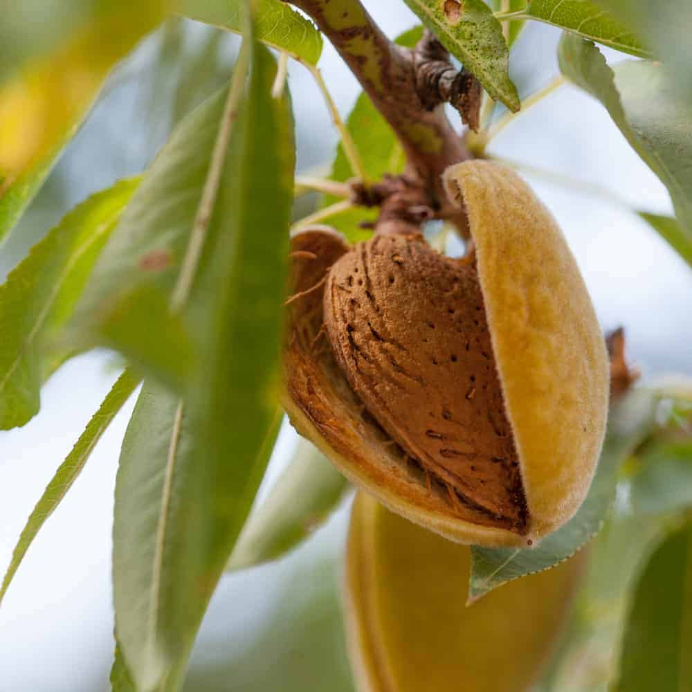 A close look at fresh almonds growing on tree.