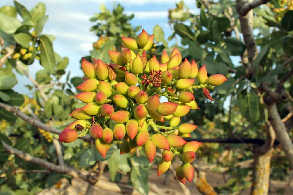 Pistachio nuts growing on a tree.