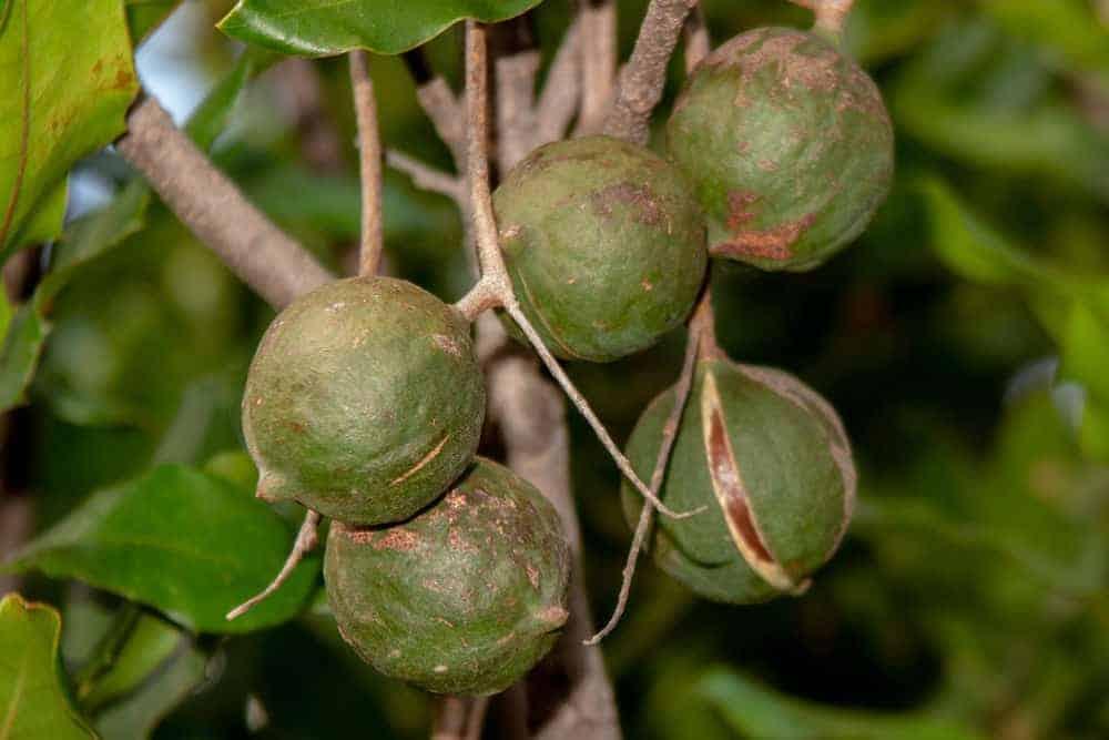 Macadamia nuts growing on a tree.