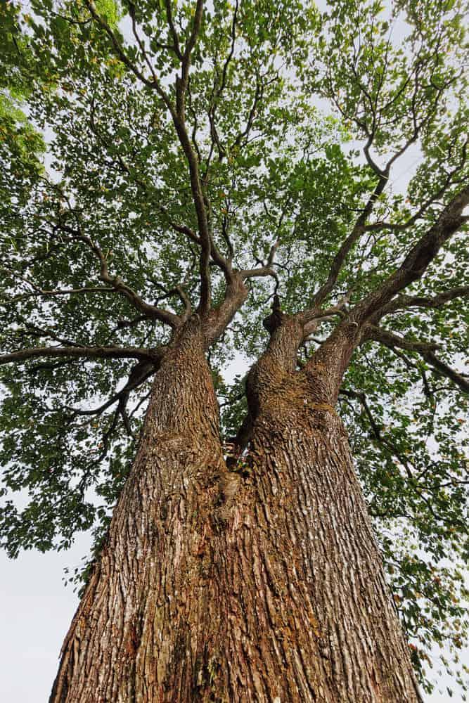 A Brazil nut tree.