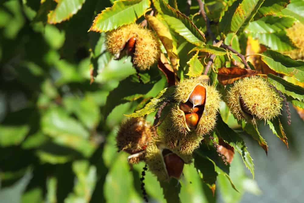 Chestnuts growing on a chestnut tree.