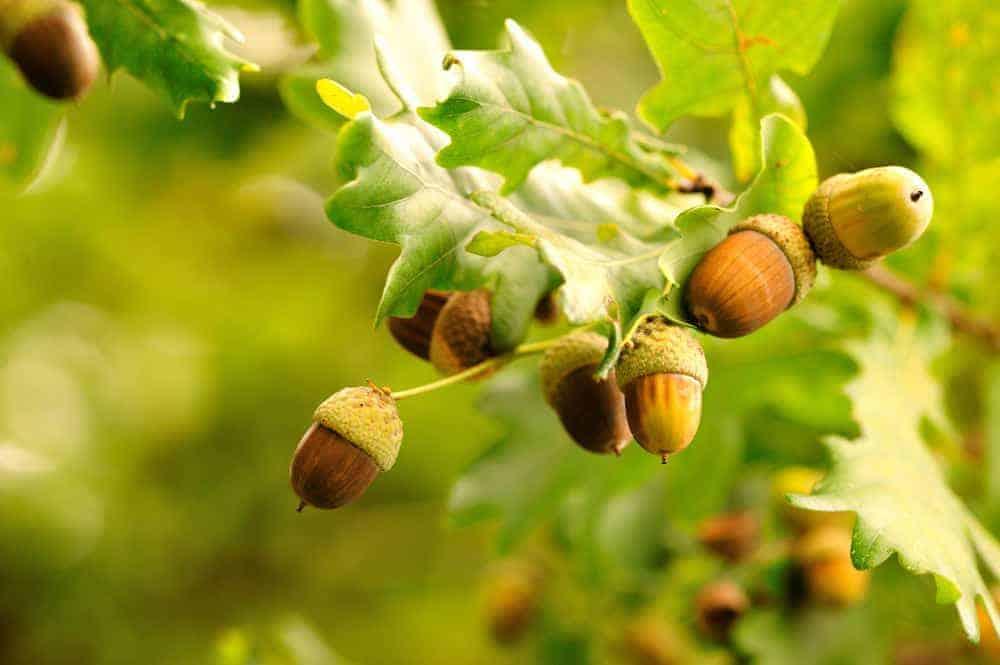 Acorns growing on an acorn tree.
