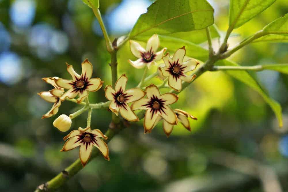 Kola nut tree with flowers.