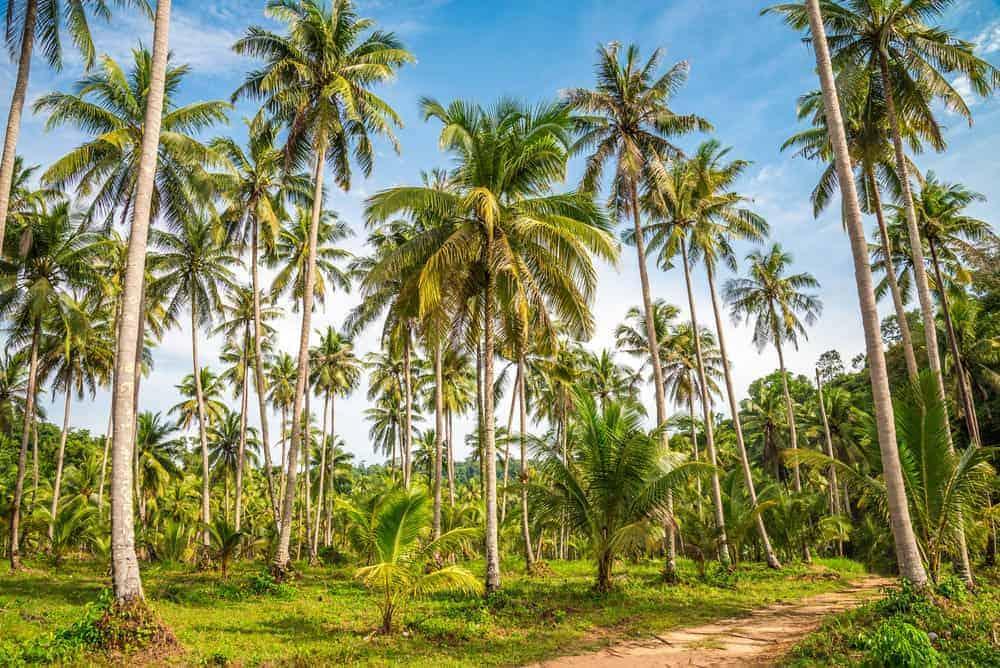 A coconut tree farm.