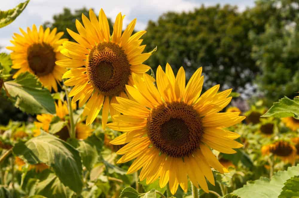 A cluster of sunflowers.