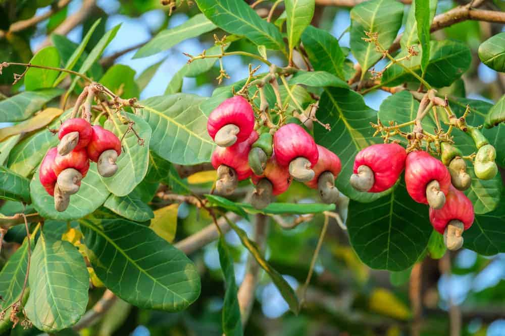 Fresh cashews growing from the tree.
