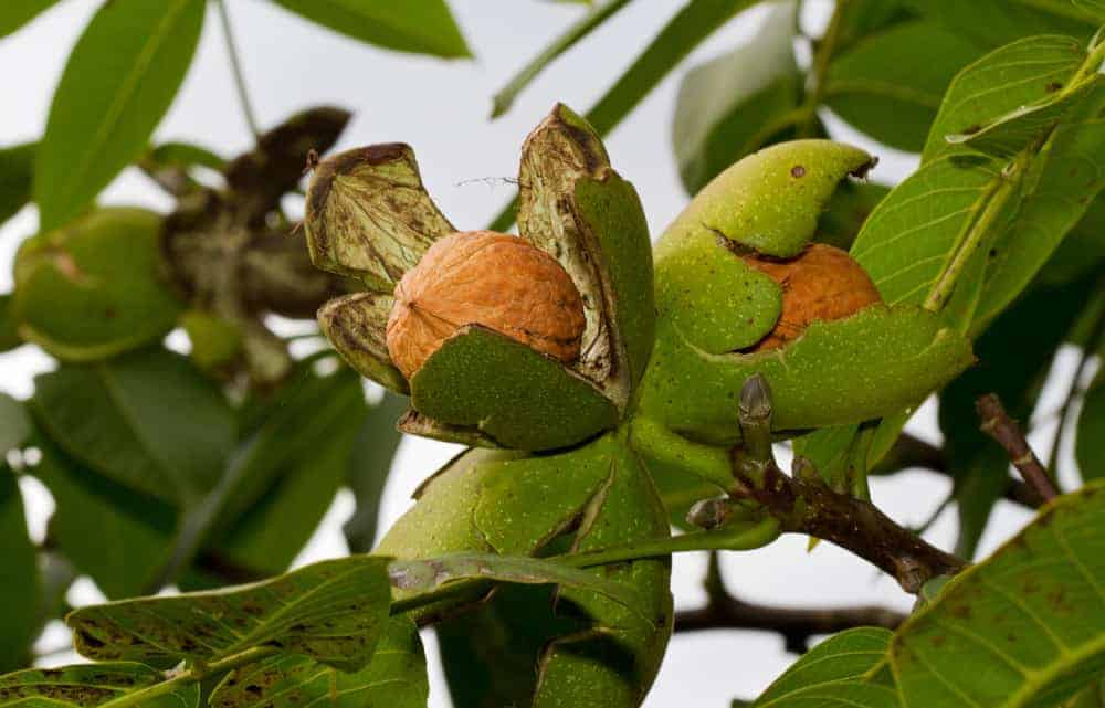 Fresh walnuts growing on a walnut tree.
