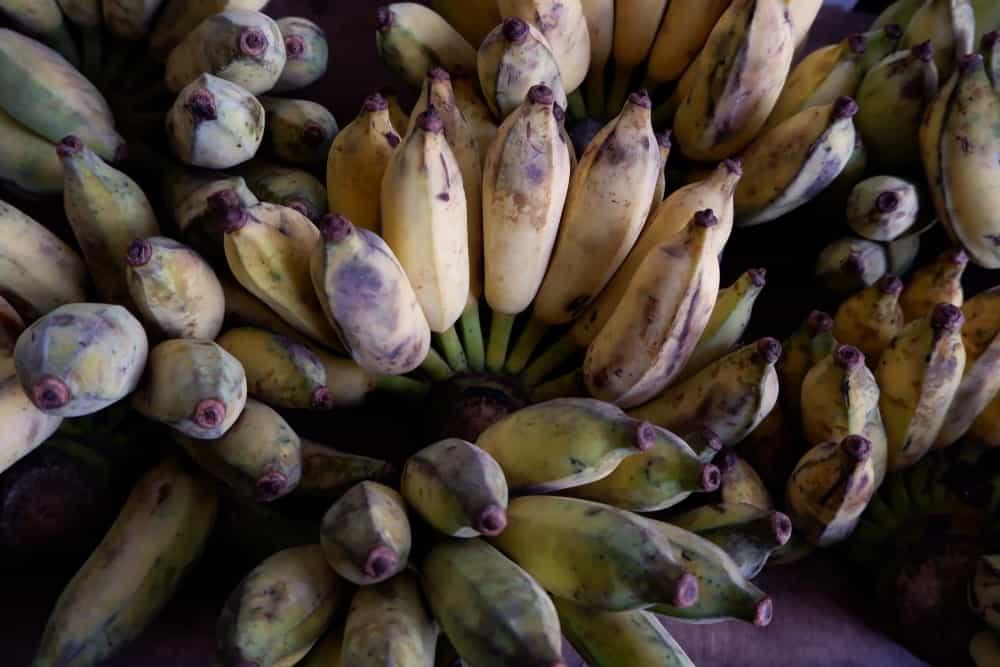 A close look at bundles of Musa acuminata balbisiana or blue bananas.