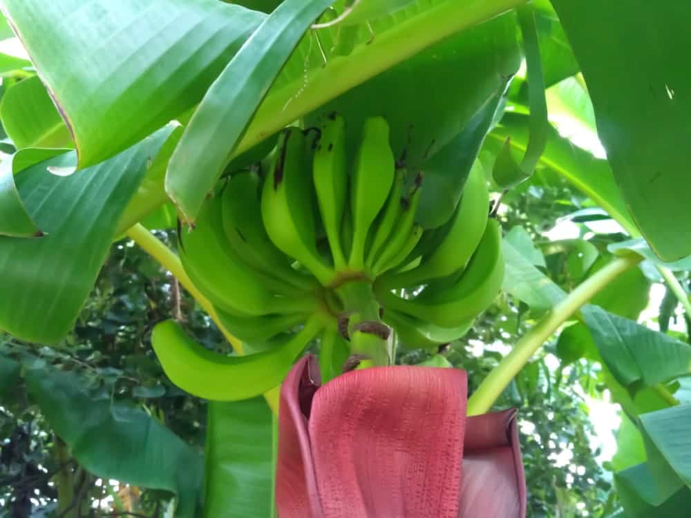 A bundle of unripe green goldfinger bananas growing on a tree.