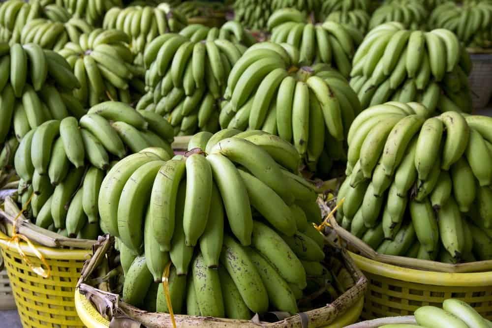 Bundles of Cavendish bananas on display at a market.
