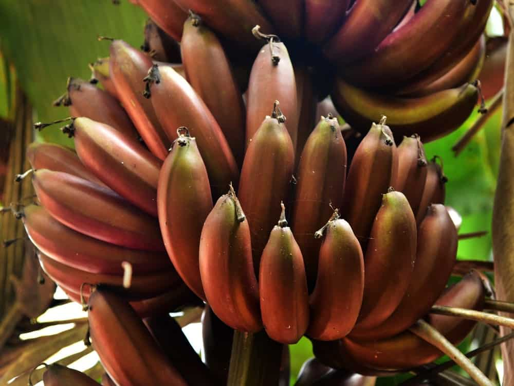 A close look at bundles of ripe red bananas still attached to the tree.