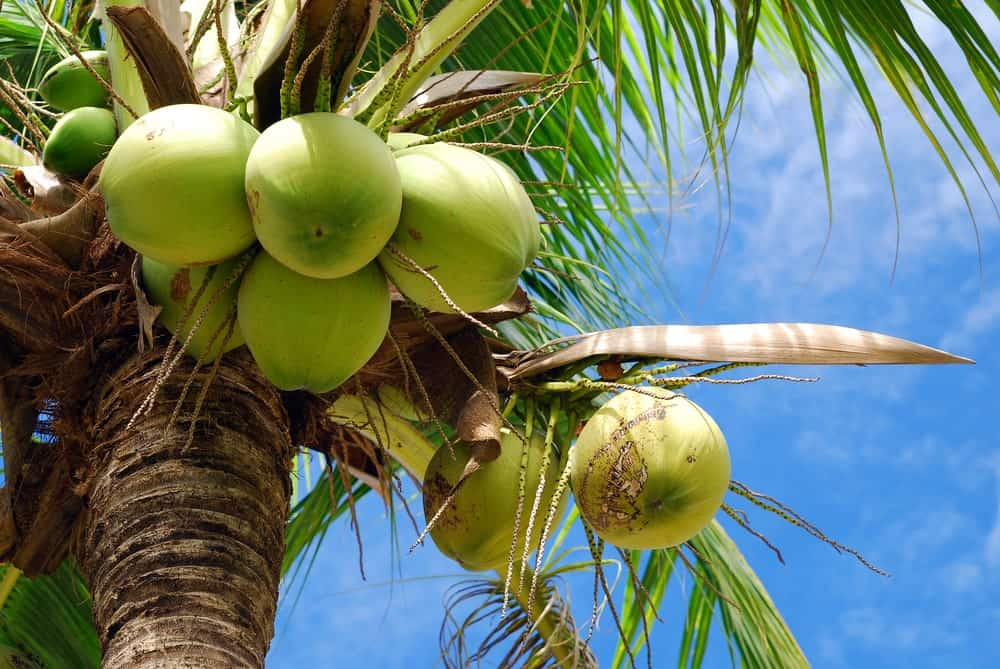 Bundles of fresh coconuts up at the tree.