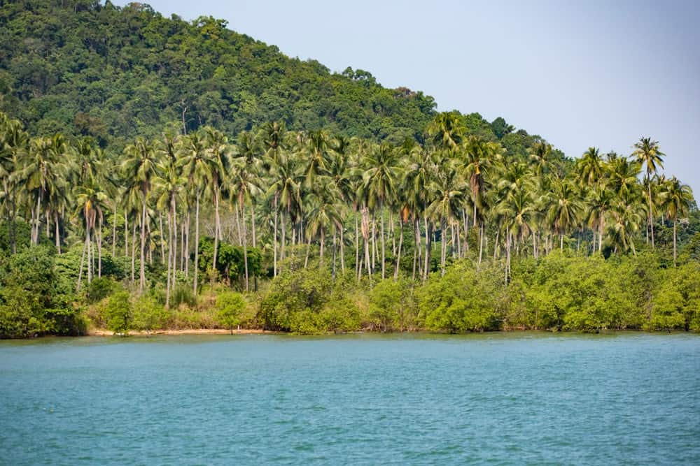 A look at tall East Coast Coconut trees.