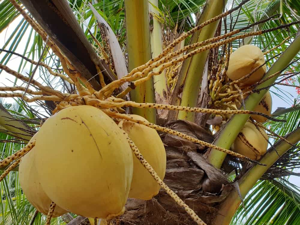 A close look at a golden Malay coconut tree.