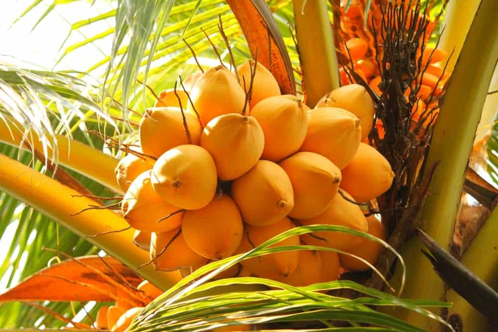 This is a close look at a cluster of king coconut fruits up in the tree.