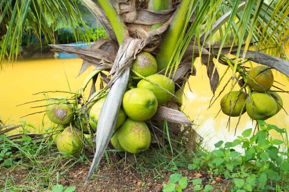 A close look at a Fiji Dwarf coconut tree with fruits.