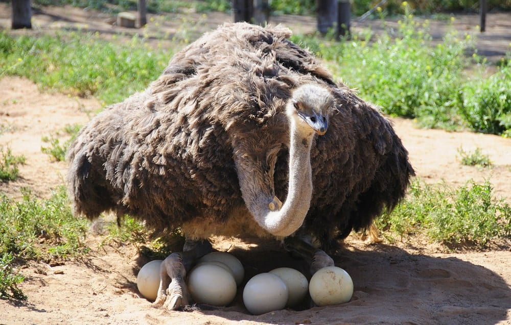 A mother ostrich and her eggs.