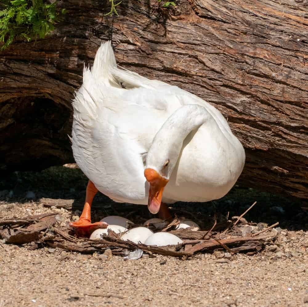A white mother goose and her eggs on a nest.