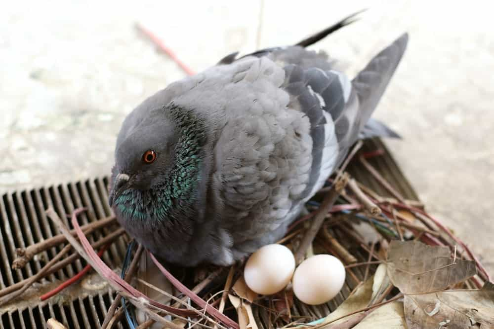 A mother pigeon with two eggs at a nest.