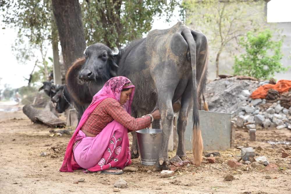 A woman milking a buffalo.