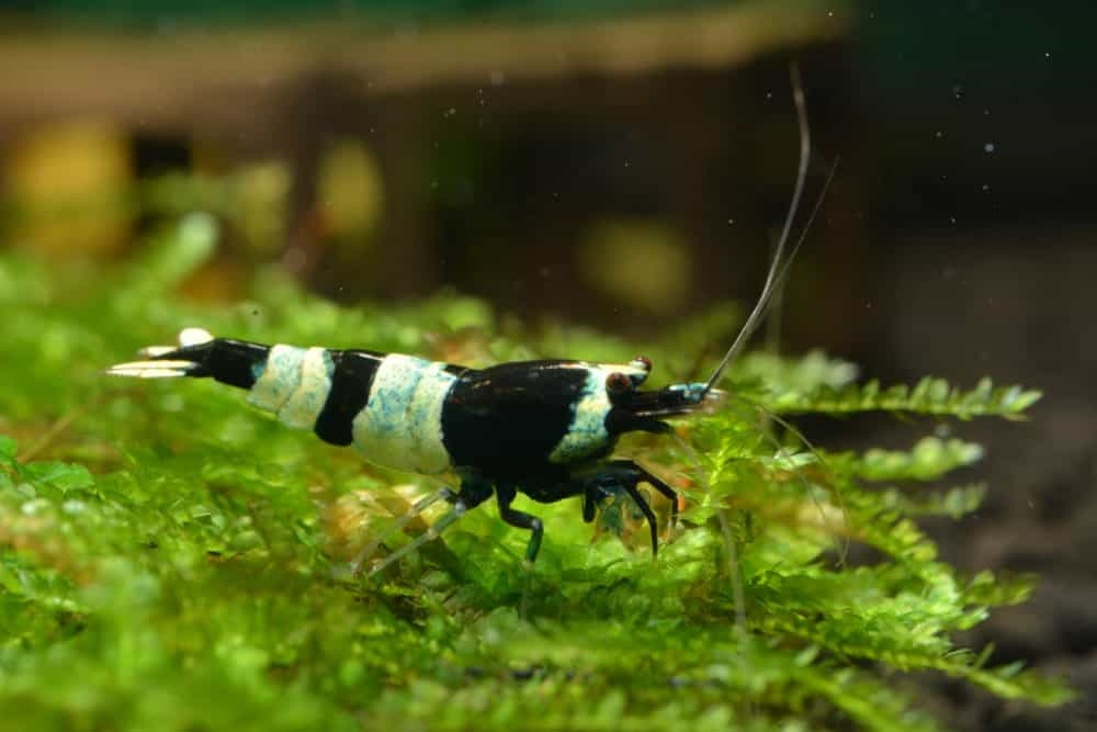 A live capture of a Black King Kong Panda Shrimp.