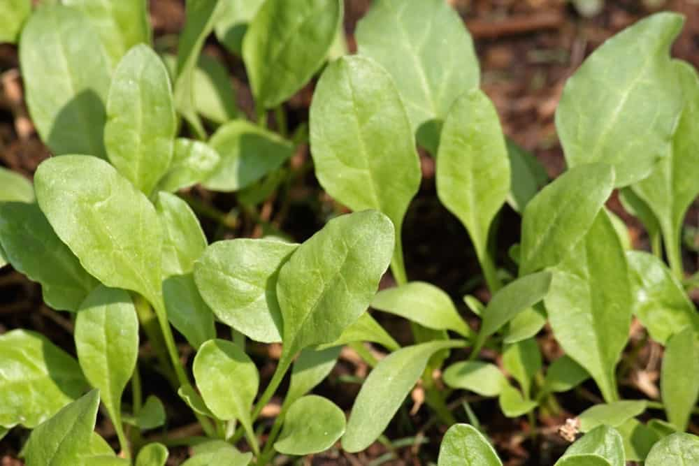 A close look at semi-savoy spinach ready to be harvested.