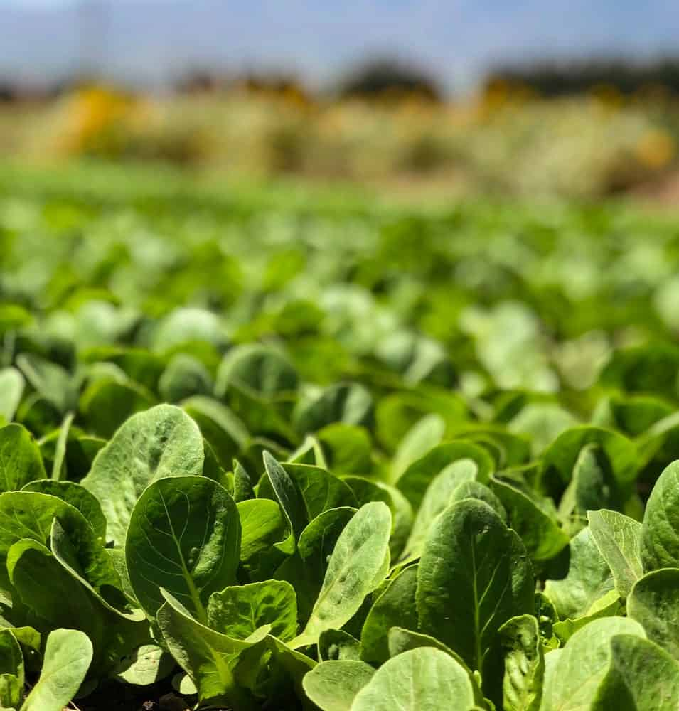 A field of space spinach in California.