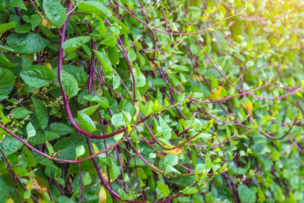 A close look at fresh malabar spinach ready to be harvested.